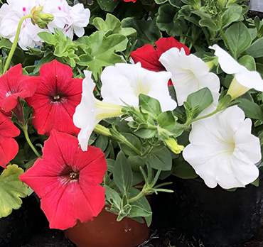 discounted bedding plants